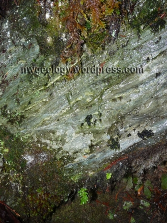 Shuksan greenschist nearly covered with plants. Note layering from metamorphic foliation of minerals.
