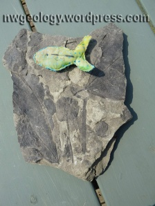 It is still possible to find leaf fossils among the brush. These were found in August, 2014.